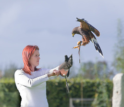 Falconry hawk walk