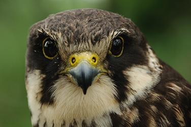 Falconry Hobby