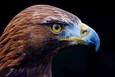 Falconry Golden Eagle