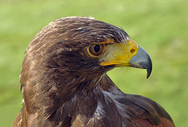 Falconry Harris Hawk
