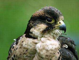 Falconry Hybrid Falcon