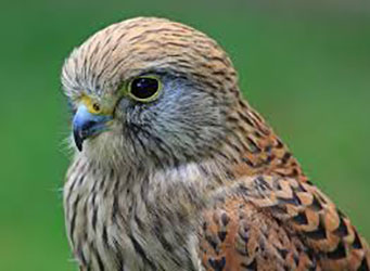 Falconry Kestrel