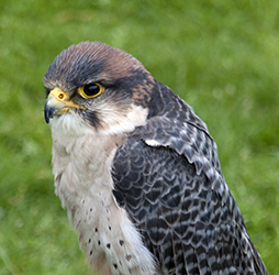 Falconry Lanner Falcon