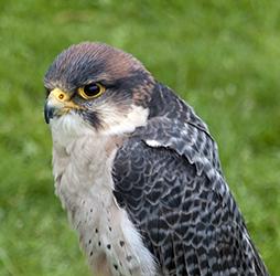 Falconry Lanner Falcon