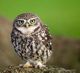 Falconry Little owl