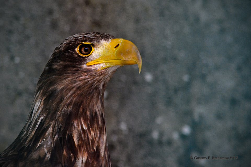 Falconry White-tailed sea Eagle