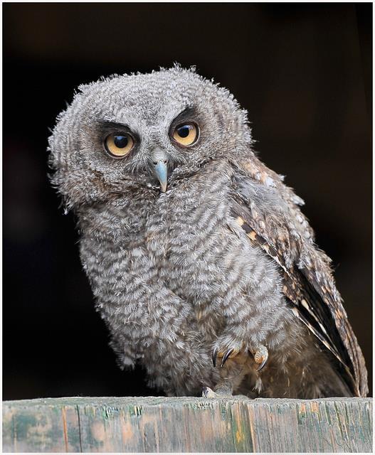 Falconry Tropical Screech Owl