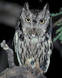 Falconry Western Screech Owl
