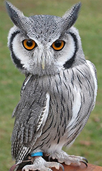 Falconry White-faced Scops Owl
