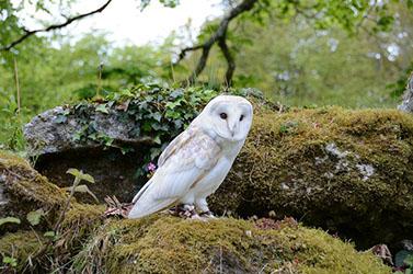 Falconry Barn Owl