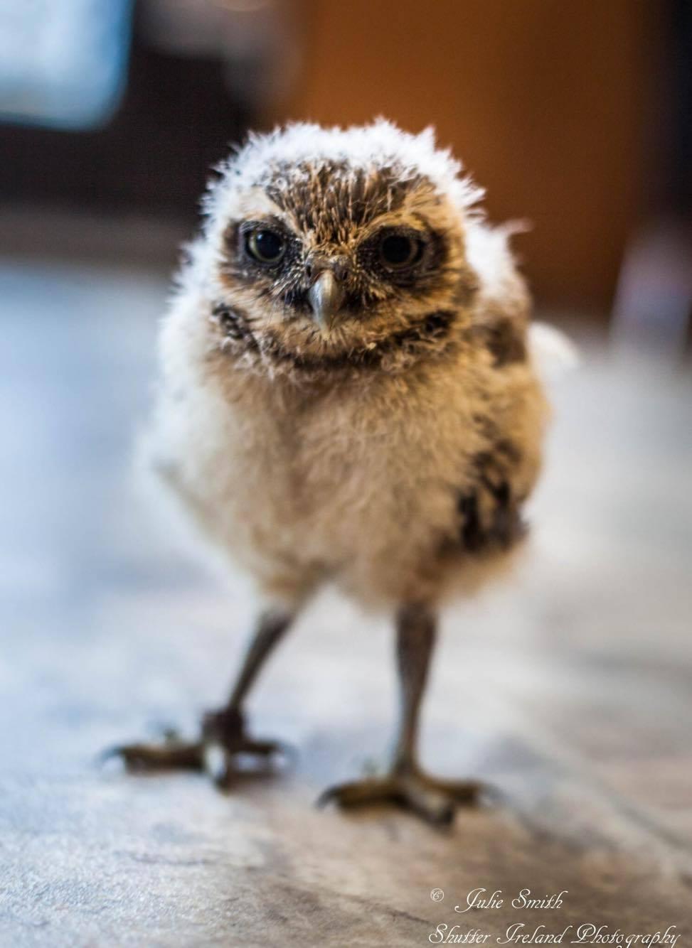 Falconry Burrowing Owl