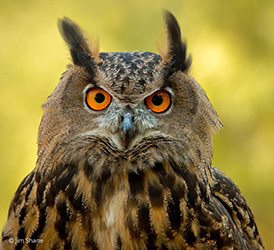 Falconry European Eagle Owl