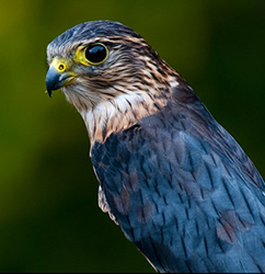 Falconry Merlin