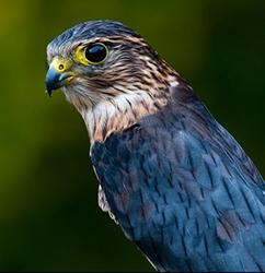Falconry Merlin