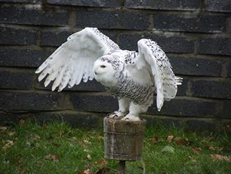 Falconry Snowy Owl