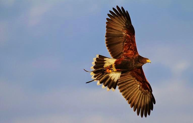 Falconry hawk walk